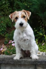 1130 Best Jack Russell Terriers Images On Pinterest | Jack ... Jack Russell Gracie Sold To Chris Dearmon Snow Creek 1813 Best Triers Images On Pinterest 743 Russell Long Haired Jack Trier Puppies For Sale In Kent Google The Russellcolbath Historic Homestead Site The White Mountains New Hampshire Kancamagus Highway Northern England Villages Cute Trier Dog On Stock Photo 574920391 Shutterstock Farm Photos Images Alamy Male Teacup Chihuajack Russellix Lantern Pictures Jackhua 1588