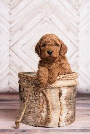 Do F1 Sheepadoodles Shed by Best 25 F1b Mini Goldendoodle Ideas On Pinterest