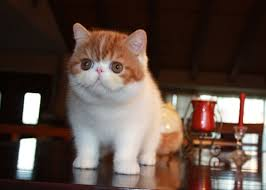 shorthair cat price shorthair cats cats need it
