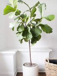 total trendy geigenfeige aka ficus lyrata pflanzenfreude
