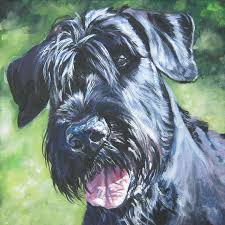 Do Giant Schnauzer Dogs Shed Hair by Chardy Giant Schnauzers Giant Schnauzers