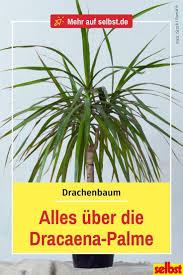 dracaena selbst de drachenbaum zimmerpflanze palme