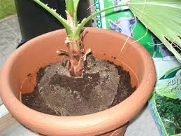rempoter un palmier en 8 é la palmeraie fr