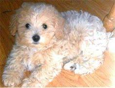 Non Shedding Hypoallergenic Dogs by Image Gallery Non Shedding Hypoallergenic Dogs