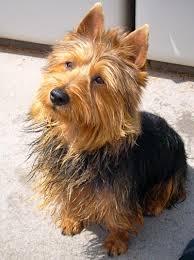 Small Non Shedding Dogs Australia by Australian Terrier Australian Terrier Terrier And Dog Types