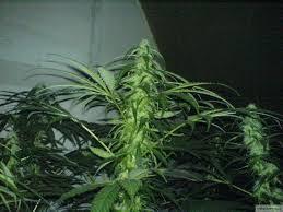 fin de floraison cannabis exterieur forcer la floraison de votre cannabis en extérieur biotops biz