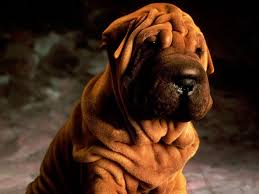 Do Shar Peis Shed A Lot by 141 Best Chinese Shar Pei Images On Pinterest Shar Pei Puppies