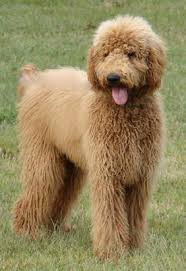 Large Low Shedding Dogs by Goldendoodles