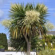 prix des palmiers exterieur palmiers plantes et jardins