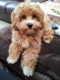 Dogs That Dont Shed Or Stink by I Want A Cavapoo King Charles Cavalier Poodle Mix He Looks Like