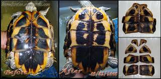 Turtle Shell Not Shedding by In Which My Scutes Were Shedding Underneath The Shell