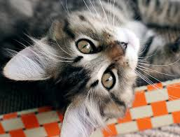 bobtail cat 5 things you didn t about the american bobtail iheartcats