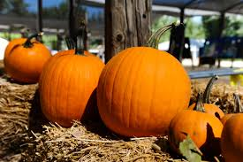 Best Pumpkin Patch Near Corona Ca by The Pumpkin Patch At Live Oak Canyon Is A Labor Of Love For New