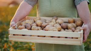 kartoffeln lagern ohne keller so bleiben sie länger frisch