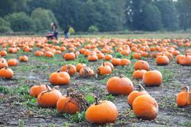 Pumpkin Picking Farm Long Island Ny by Pick Your Own Pumpkin At The Best Farms In And Near Nyc