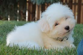 Do All Dogs Shed Fur by 5 Dog Breeds For People With Asthma And Other Allergies Petful