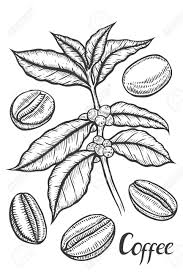 866x1300 Hand Drawn Sketch Of Coffee Plant Branch With Leaf Berry