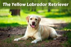 Chesapeake Bay Retriever Vs Lab Shedding by Silver Labrador Retriever Facts And Controversy