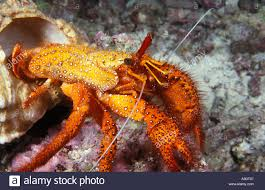 Halloween Hermit Crab Molting by Reef Safe Hermit Crabs Information And Facts Calcinus Elegans