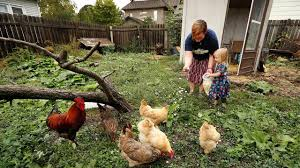 Backyard Chicken Coop Trend Linked To Spike In Salmonella Cases ... The 25 Best Salmonella Symptoms Ideas On Pinterest Memes True Pharmacologist Warns That Eggs From Backyard Chickens Pose Chicken Chick Salpingitis Lash Eggs In Backyard Chickens Raising Chickenswhat You Need To Know Penn State Food Safety Blog And The Higher Risk Health Concerns When Tending Tahoetruckee Nationwide Salmonella Outbreak Linked Pet Makes 611 Sick Nbc News Outbreaks 47 States How Not Get Your Chicken