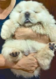 Dogs That Dont Shed Too Much by Cute Teddy Bear Puppies Pictures