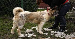 Do All Dogs Shed Fur by Top 10 Worst Shedding Dog Breeds To Own The Dog Digest