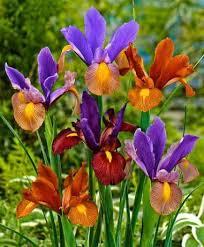 iris tiger mix dutchgrown