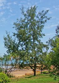 100 Casuarinas Casuarina Equisetifolia Trees Shade Plants Plants