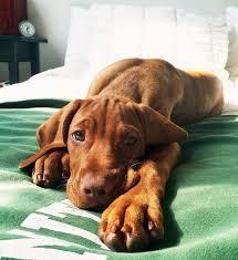 do vizsla dogs shed best 25 vizsla ideas on hungarian vizsla vizsla