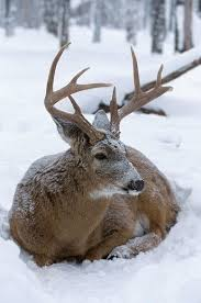 Best 25 Buck deer ideas on Pinterest
