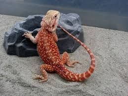 Bearded Dragon Shedding Process by 168 Best Bearded Dragons Images On Pinterest Bearded Dragon