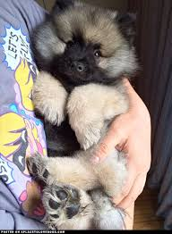 Dogs That Dont Shed Keeshond by Keeshond Best Breed Of Dog Ever Cute Pinterest Puppies