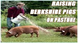 Raising Berkshire Pigs On Pasture - YouTube Which Pig Find Your Next Thing Modern Farmer Pigs Pigs And More Pigs Backyard Chickens Raising Feeder Concrete Or Pasture Farm Fresh For Life Figueroa Breeding Gguinto Bulacan Youtube For The First Time Page 2 Pastureraised Pork Grows In Popularity Missippi A Balancing Act Being A Mom Wife Backyard Hogswine Cambodian Case Study Inrgrated Fish Farming The Site How To House Fence Price Of Illinois Poisoned Creeks Yet Limited 223 Best Images On Pinterest Farms