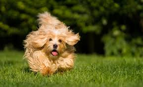 Quiet Small Non Shedding Dog Breeds by Top 10 Small Quiet Dog Breeds