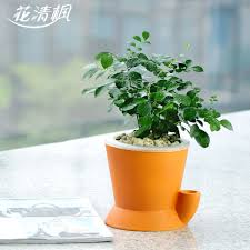 Murraya Paniculata Bonsai Indoor Plants Hydroponic Flowers Bonsai