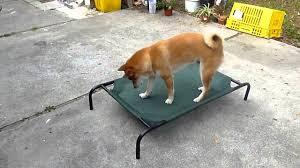 shiba inu is playing with coolaroo elevated pet bed youtube
