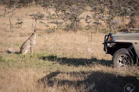 100 Safari Truck Cheetah Sitting In Front Of Stock Photo Picture And
