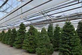 Christmas Trees Types by The Christmas Tree Echter U0027s Garden Talk