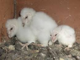 Barn Owls Bouncing Back In Wokingham | BlackwaterValleyCountryside Standing Twelve Weekold Barn Owl Side View Stock Photo Getty Images Boxes South Downs National Park Authority Old Man Of Minsmere Aka John Richardson Gorgeous Birds In Folklore Owls And Ravens Randomdescent Orbit The 5 Weekold Baby Who Has Been Hand Ared By Owl Wikipedia Coda Falconry On Twitter Our 7 Week Old Barn Was Bred At Dont Go Deaf New Zealand Geographic Australian Masked Rescuing Owls Tropic Wonder Audubon Art Print Vintage Nature Bird Eyfs Blog Archive Wise
