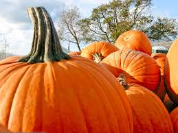 Wheatfield Pumpkin Patch by Guide To Pumpkin Picking In New York I Love Halloween
