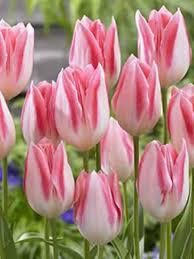 class tulip bulbs bulk buy