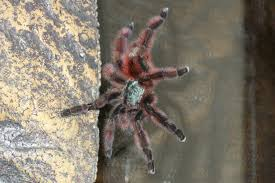 Pumpkin Patch Tarantula For Sale by I Have A Mass Hunger Strike Going On In My Spider Room Tarantulas