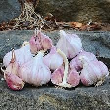 hardneck garlic duganski garlic