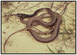 Eastern Coachwhip Snake | Florida Backyard Snakes Backyard Snakes Effective Wildlife Solutions Snakes And Beyond 65 Best Know Them Images On Pinterest Georgia Of Louisiana Department Fisheries Southern Hognose Snake Florida Texas Archives What Is That 46 The States Slithery Species Nolacom Scarlet Kingsnake Cottonmouth Eastern Living Alongside Idenfication Challenge The Garden Or Garter My Species List New Engdatlantic