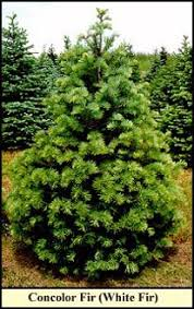 Types Of Christmas Trees To Plant by Tree Types Kentucky Christmas Tree Association