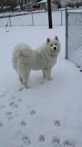 Do Samoyed Huskies Shed by 3032 Best Samoyed Images On Pinterest White Dogs Samoyed