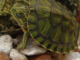 Turtle Shell Not Shedding by Shed Or Shell Rot Big Pond Turtle Forum