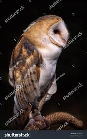 Side View Barn Owl Against Black Stock Photo 3438911 - Shutterstock Black Barn Owl Oc Eclipse By Pkhound On Deviantart Closeup Of A Stock Photo 513118776 Istock Birds Of The World Owls This Galapagos Barn Owl Lives With Its Mate A Shelf In The Started Black Paper Today Ref Paul Isolated On Night Stock Photo 296043887 Shutterstock Stu232 Flickr Bird 6961704 Moonlit Buttercups Moth Necklace Background Image 57132270 Sd Falconry Mod Eye Moody