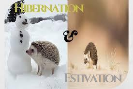 Ceramic Heat Lamp For Hedgehog by Hibernation And Estivation In Hedgehogs Hedgehog As Pets