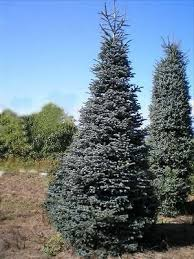 100 NOBLE FIR TREE SEEDS CHRISTMAS EVERGREEN FAST GROWING
